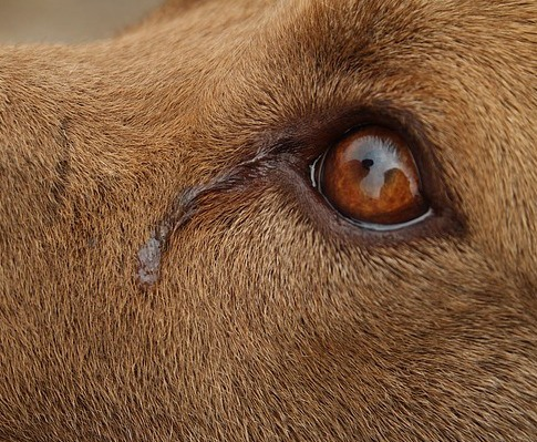 can dogs cry tears